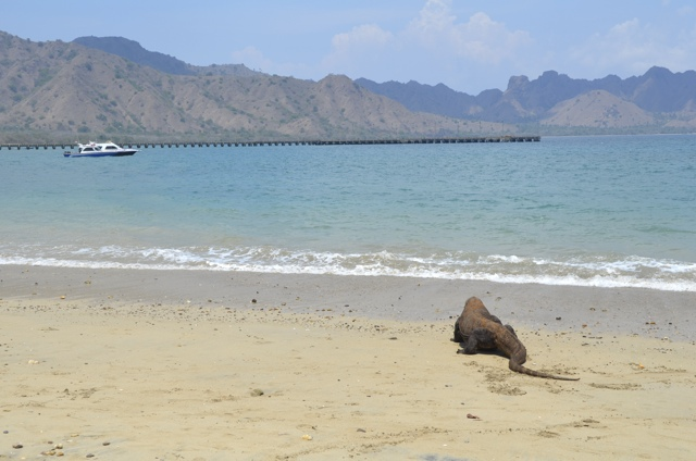 Surviving a Visit to the Komodo Dragons at Komodo National Park