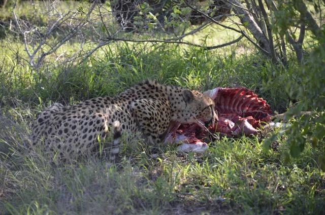 A Cheetah, Jackal and Dozens of Vultures Eat an Impala on Safari