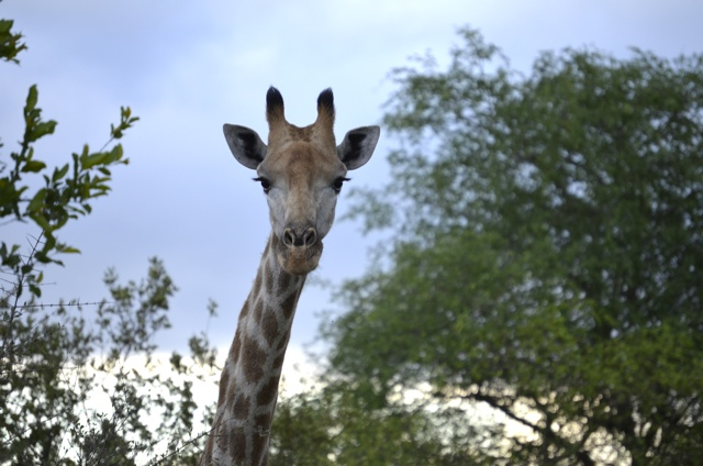 Giraffes in South Africa – A Photo Essay