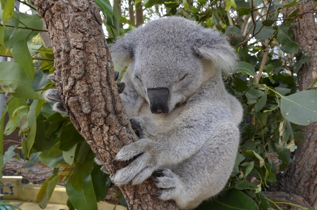 Koalas! – A Photo Essay