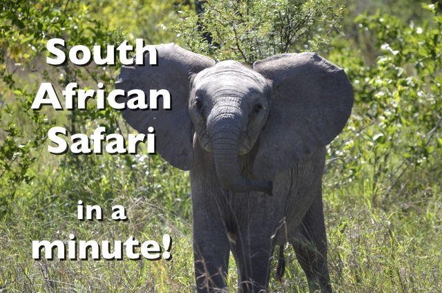 South African Safari in a Minute #Video