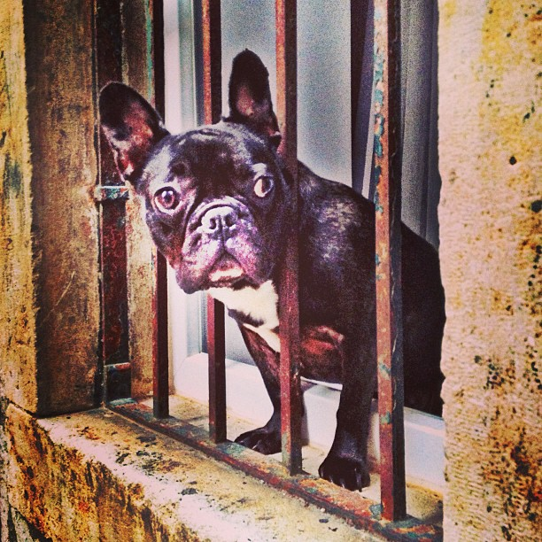 A french bulldog looks down an alleyway in Old Town Dubrovnik.