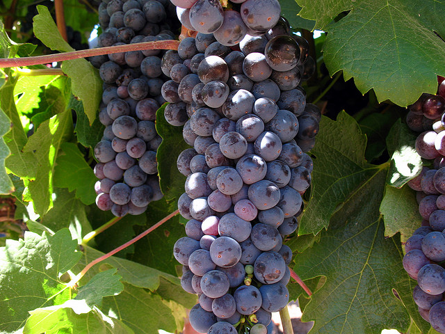 Chilean Wine Grapes on the Vine by Flickr user chrismar