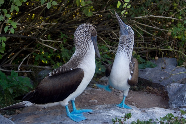 Blue Footed Boobies in the Galapagos Islands by BaconIsMagic.ca