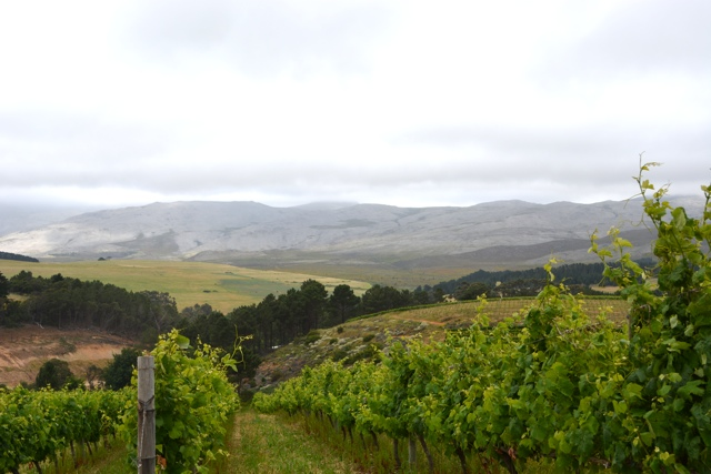the vineyard at creation wines - Tasting Creation Wines in South Africa