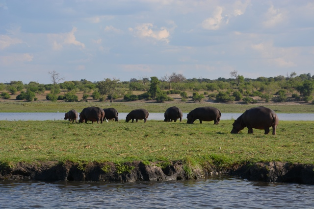 hippos on the chobe river
