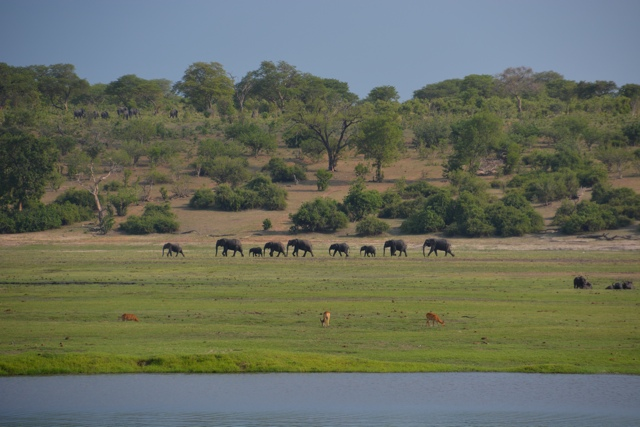 elephants along the chobe river - staying aboard the zambezi queen