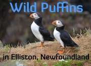 Wild Puffins in Elliston, Newfoundland