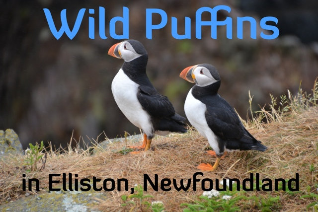 Puffin Encounters in Elliston, Newfoundland