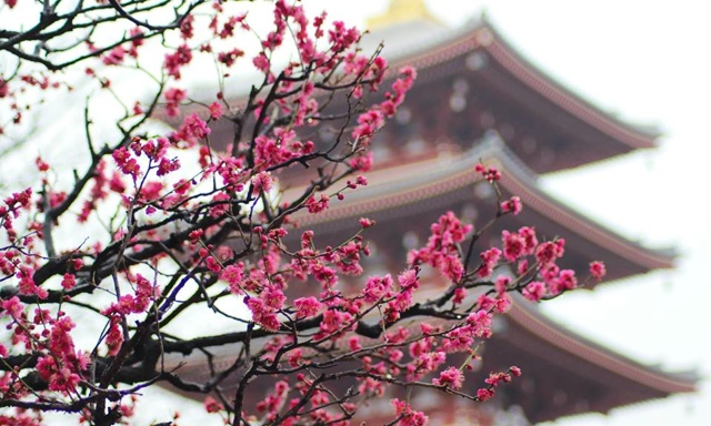 Cherry blossoms in Tokyo, Japan at the Senso-Ji Temple captured by Sara Thomas of http- www.thisgirlloves.co.uk - Five Places I Would Travel to with an Unlimited Budget