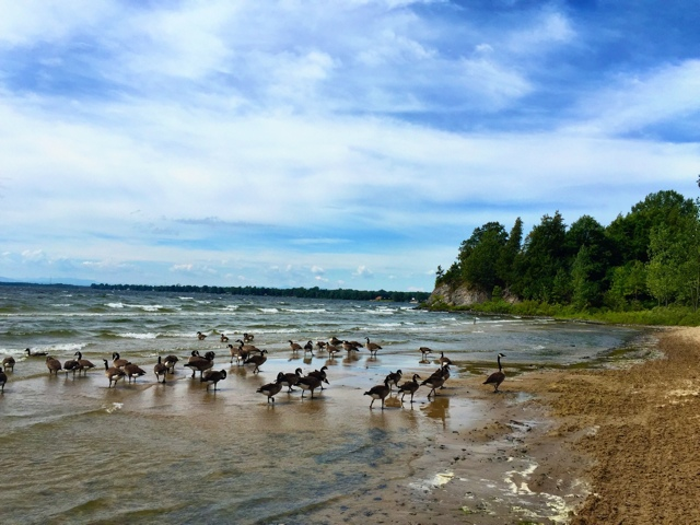 Canadian Geese at Point Au Roche State Park - Exploring the Adirondacks in New York State