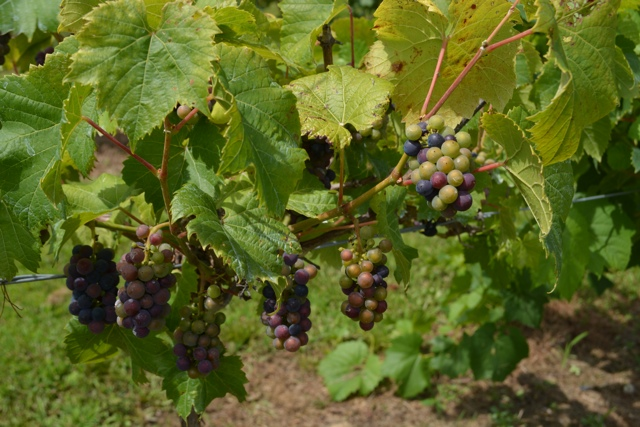 Wine grapes on the Adirondack Coast Wine Trail at Amazing Grace Vineyards - Adirondack Facts - Things to know before you go
