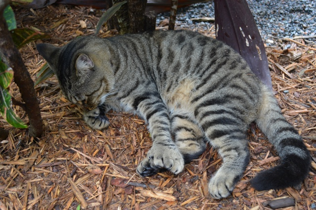 a polydactyl Ernest Hemingway cat gives its big claws a clean - Ernest Hemingway's Cats - the best part of the Florida Keys?