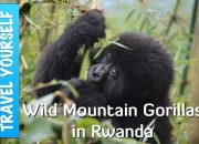 Wild Mountain Gorillas in Rwanda blog