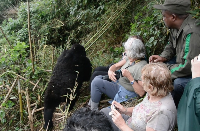 getting up close and personal with a wild mountain gorilla in volcanoes national park rwanda - Trekking to see Wild Mountain Gorillas in Rwanda