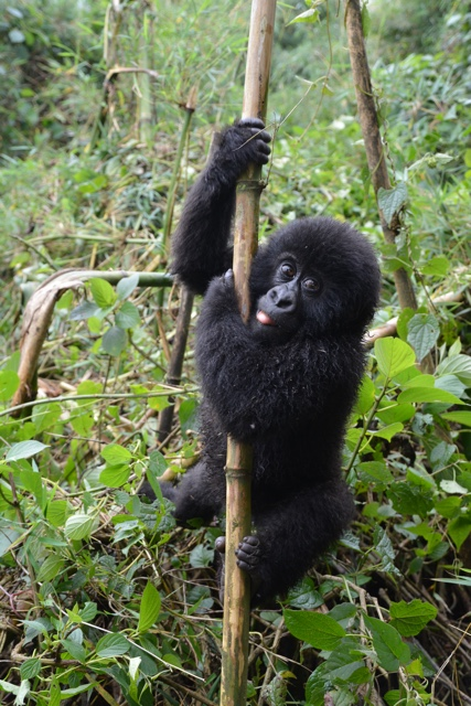 one of less than 800 wild mountain gorillas left in the wild, a baby poses for the camera - Trekking to see Wild Mountain Gorillas in Rwanda
