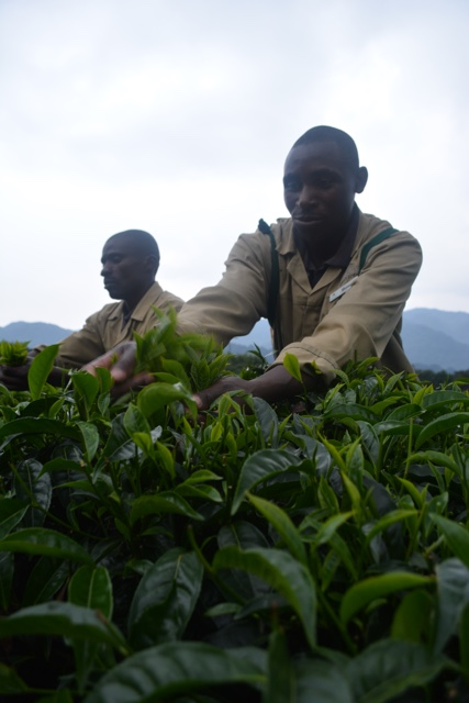learning the proper techniques for picking tea - Nyungwe Forest Lodge, Rwanda Review