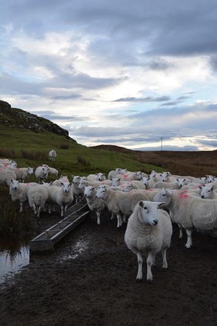 sheep on the Isle of SKye - Edinburgh to the Isle of Skye Tour Highlights