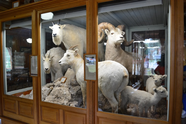 mountain goats in the banff park museum from 1914 - Best Tips for Visiting Banff, Alberta in one day