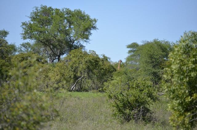 essay on giraffe