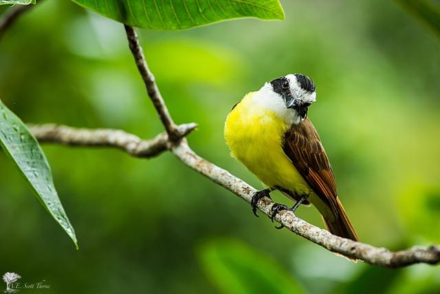 costa rica bird 08
