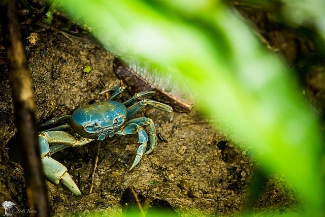costa rica blue crab 13