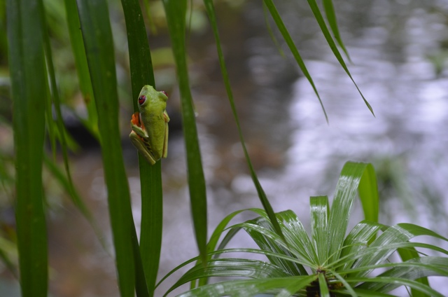 costa rica green red eyed frog