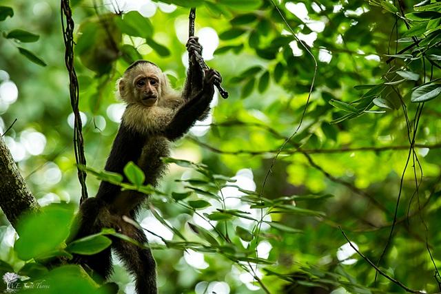costa rica monkey 06