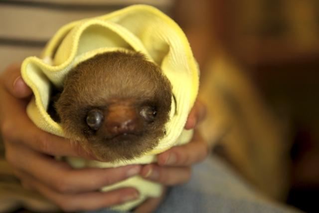 BooBoo the Sloth