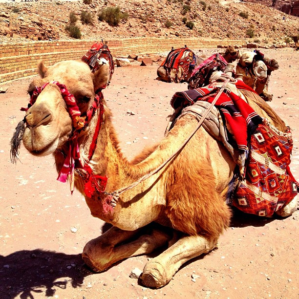 17 camel petra