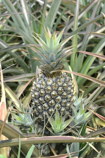 A pineapple growing in Maui