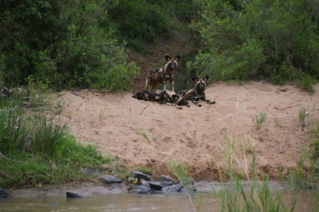 african wild dogs at zimanga game reserve wildlife act