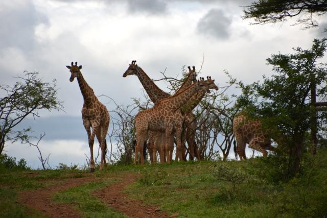 giraffes at zimanga