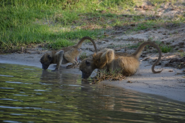 baboons drinking at the edge of the chobe river in botswana - staying aboard the zambezi queen houseboat