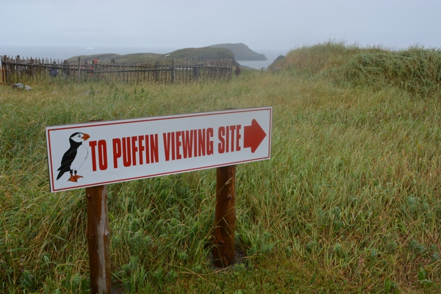 Puffing viewing site Elliston, Newfoundland - Puffin Encounters in Elliston, Newfoundland