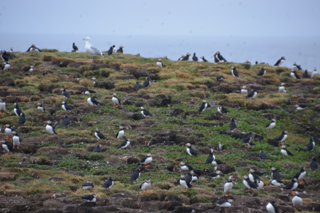 Puffins nesting on bird island in Elliston, Newfoundland - Puffin Encounters in Elliston, Newfoundland