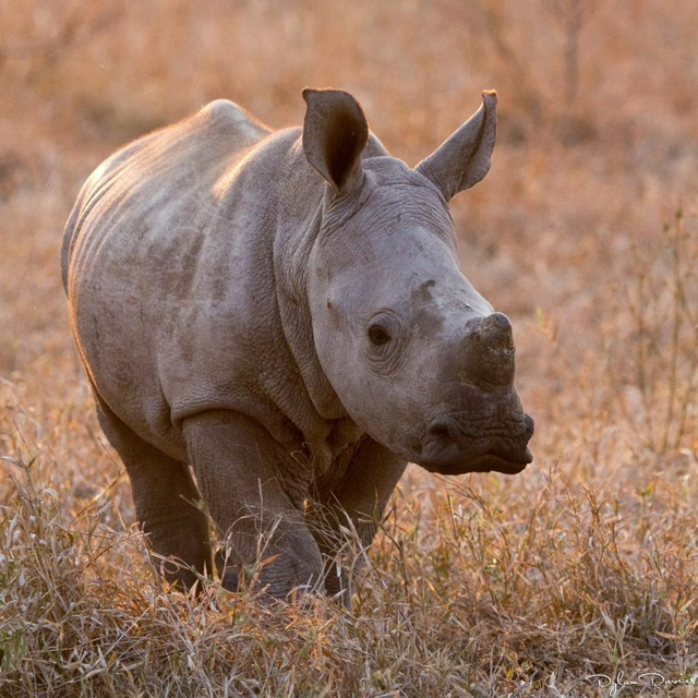 baby rhino by Dylan Davies Photography