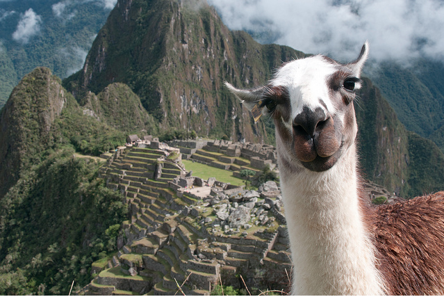 A Llama visits Machu Picchu - photo by Erica of OverYonderLust.com