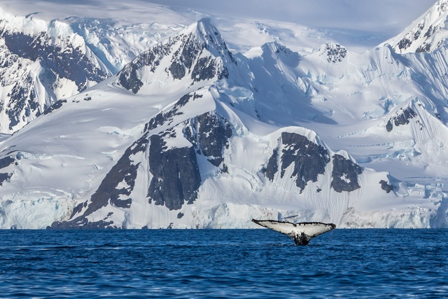 A whales tail in Antarctica captured by Dave and Deb of theplanetD.com - Five Places I Would Travel to with an Unlimited Budget