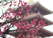 Cherry blossoms in Tokyo, Japan at the Senso-Ji Temple captured by Sara Thomas of http- www.thisgirlloves.co.uk
