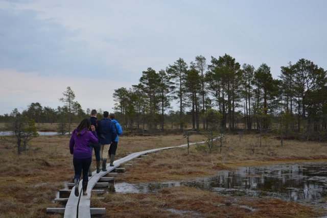 A windy narrow wooden path through the Kõnnu Suursoo vaatetorn bog - A Bog Walking Adventure in Estonia