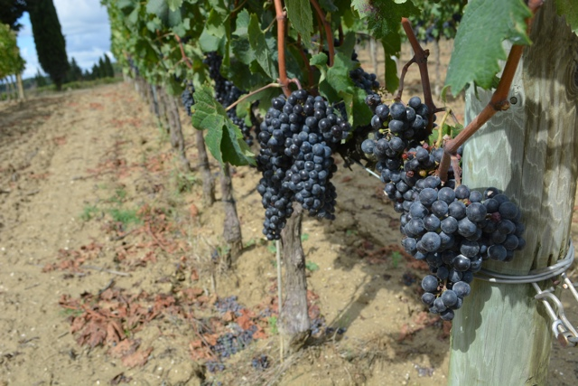 grapes growing in the Podere Il Casale vineyard - A Day Trip to Tuscany with Walks of Italy