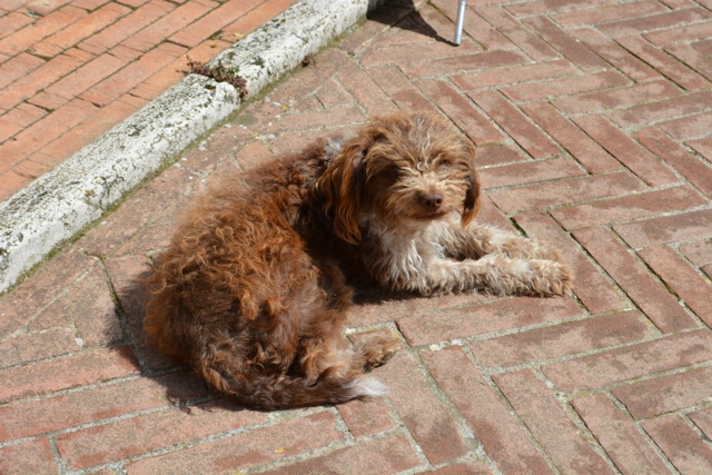 nina the truffle dog at Podere Il Casale in tuscany - A Day Trip to Tuscany with Walks of Italy