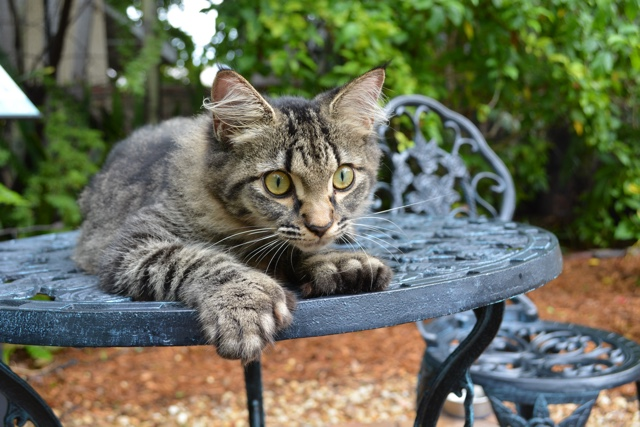 a polydactyl six toed ernest hemingway cat - Ernest Hemingway's Cats - the best part of the Florida Keys?