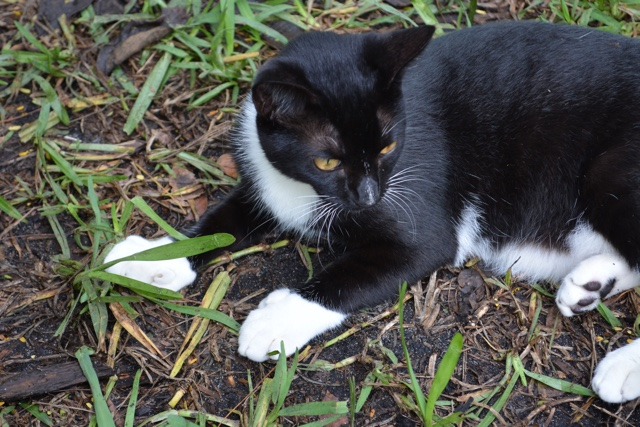 black and white polydactyl Ernest Hemginway cat - Ernest Hemingway's Cats - the best part of the Florida Keys?