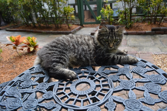 fluffy long haired polydactyl six toed ernest hemingway cat - Ernest Hemingway's Cats - the best part of the Florida Keys?