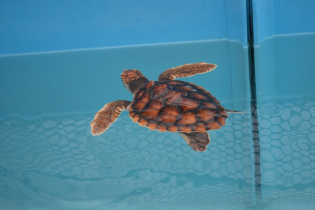 a baby turtle at the turtle hospital in marathon florida