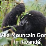 Trekking to see Wild Mountain Gorillas in Rwanda