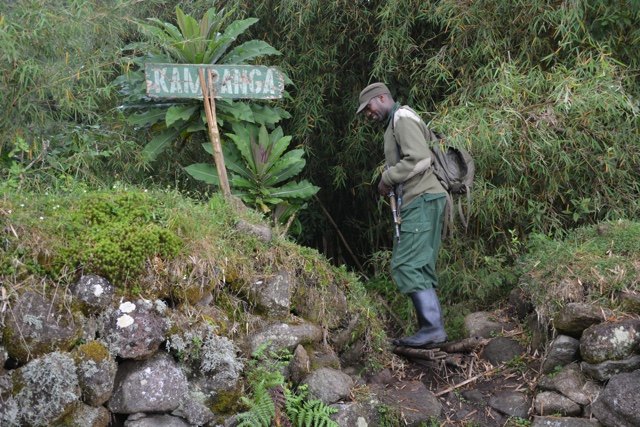 a gorilla tracker with a gun in volcanoes national park rwanda - Trekking to see Wild Mountain Gorillas in Rwanda