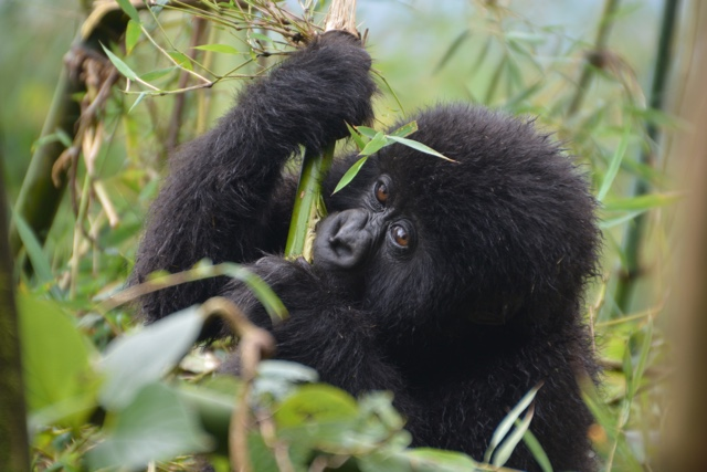 a wild baby mountain gorilla chews on bamboo in volcanoes national park rwanda - Trekking to see Wild Mountain Gorillas in Rwanda
